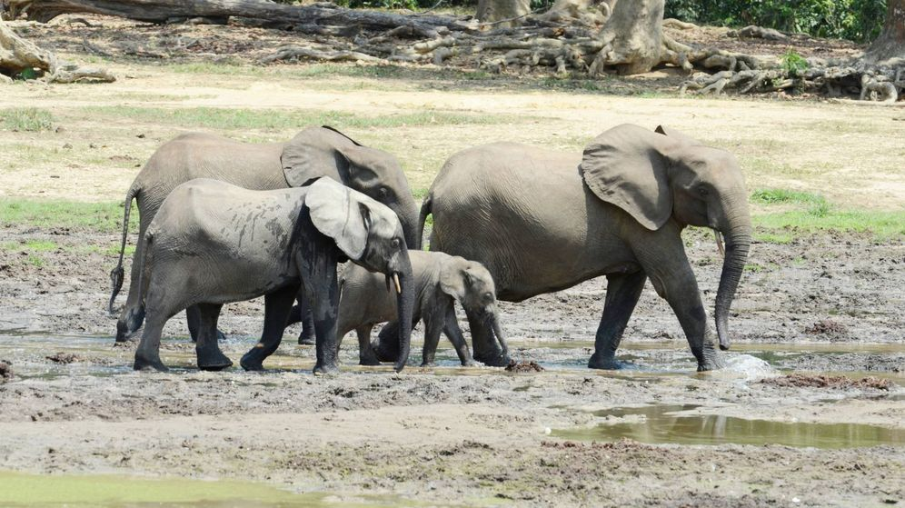 Foto: Elefantes de bosque.