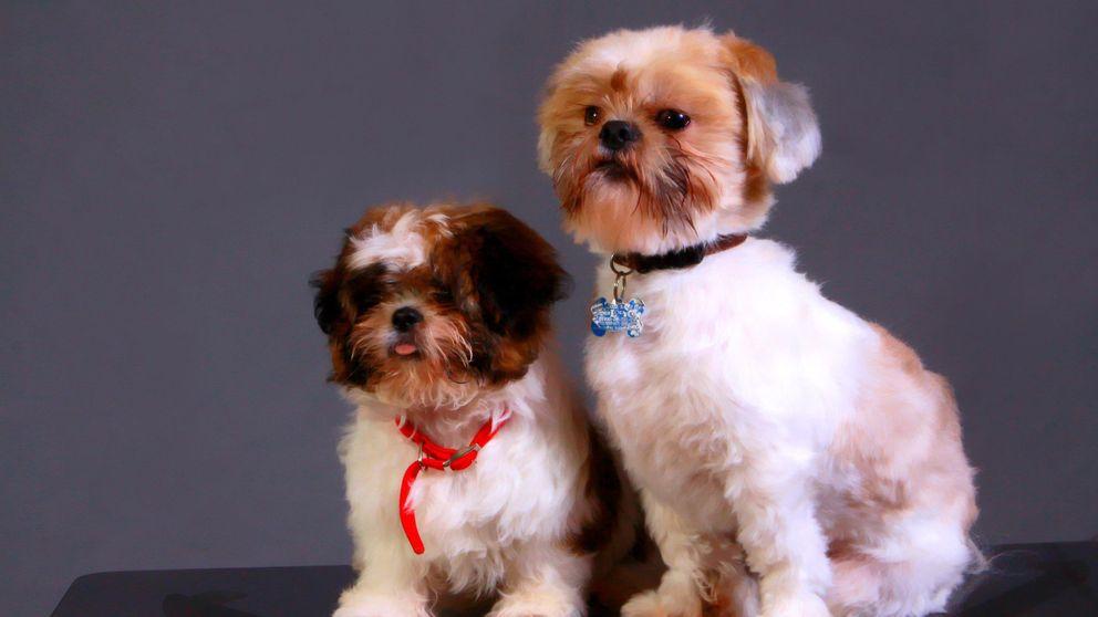 El virus misterioso que está matando un perro al día