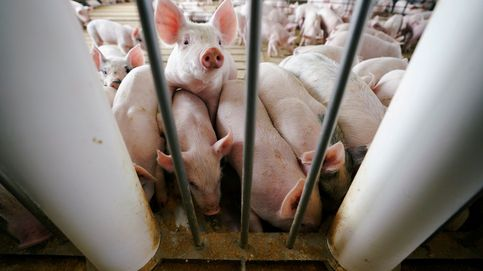 China ve el final de su crisis porcina y España será el gran perjudicado