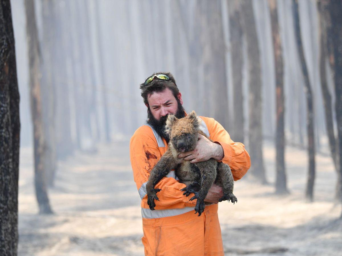 Foto: Rescate de animales en un bosque quemado de Australia. Foto: EFE David Mariuz