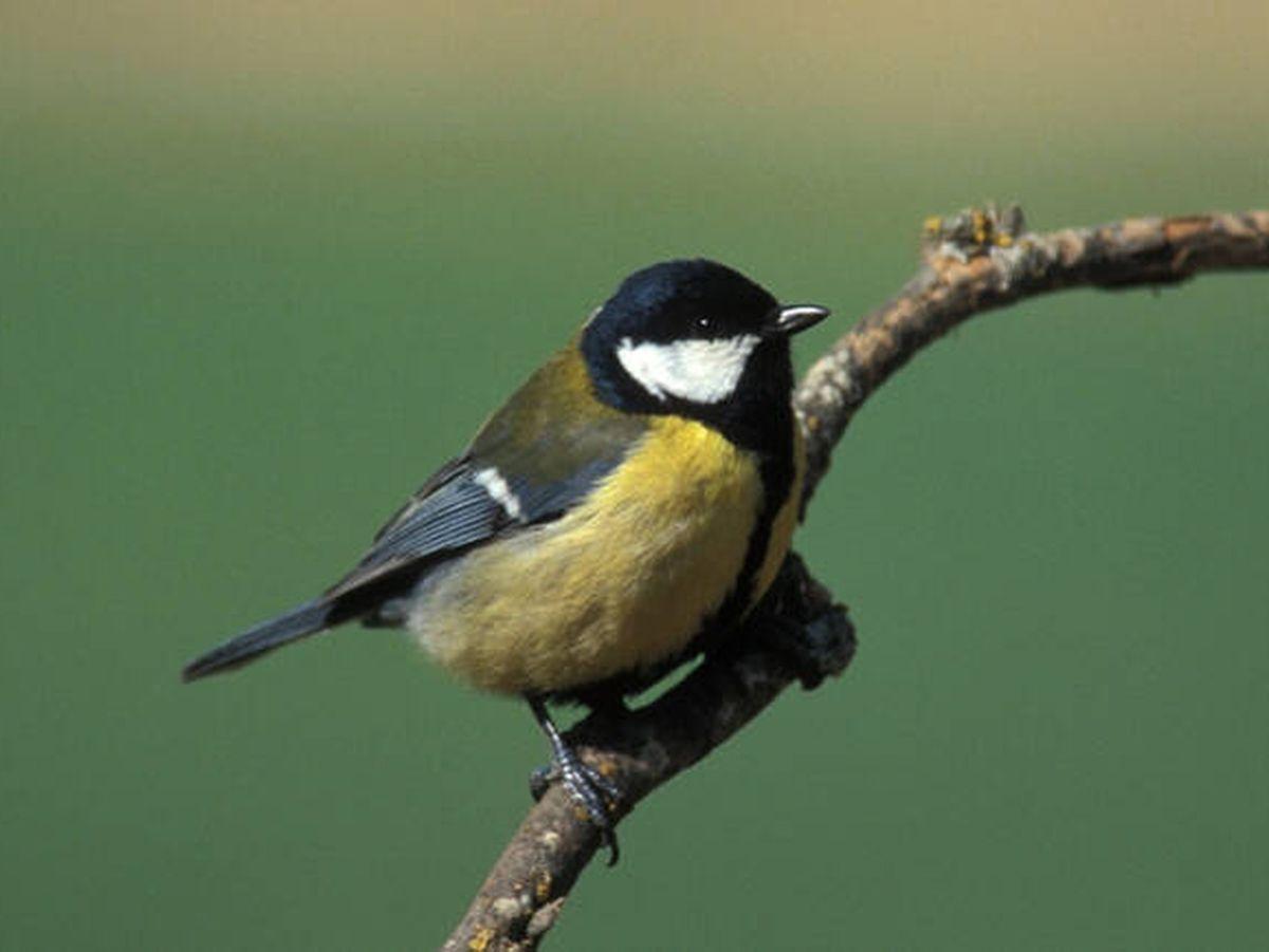 Foto: Un carbonero común sobre una rama. (SEO/Birdlife)