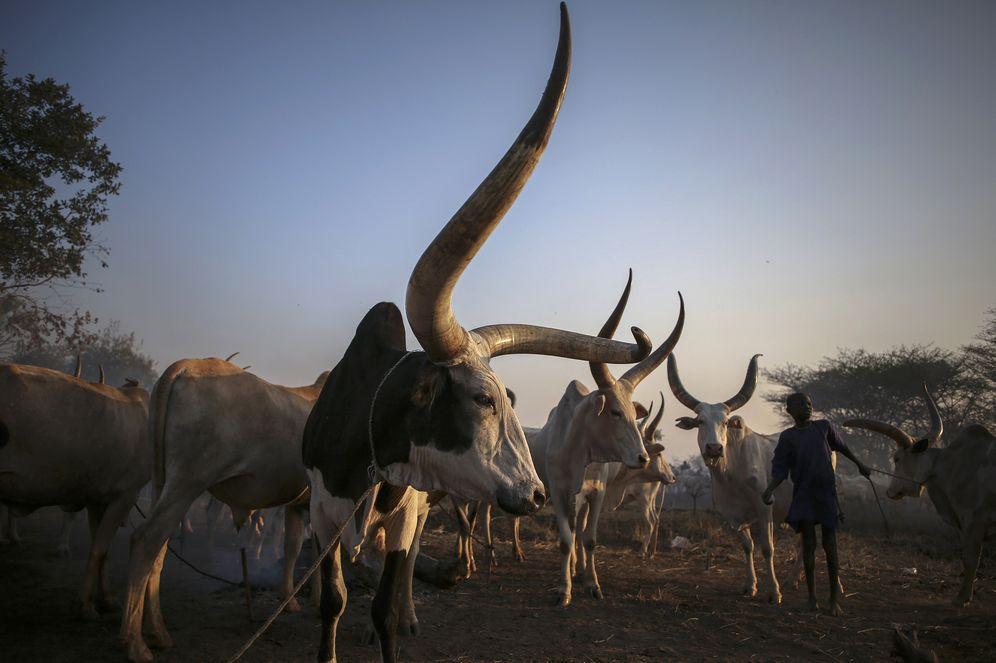 Foto: Un joven de la etnia dinka recoge a su ganado al atardecer cerca de Rumbek (Reuters).