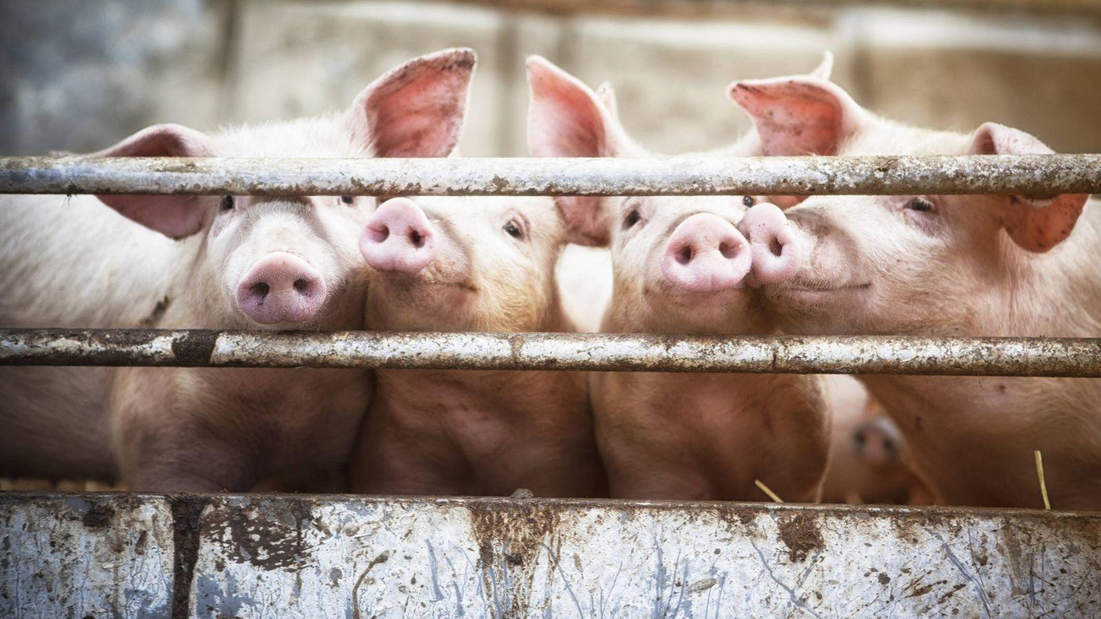 Foto: Cerdos en una granja (Foto: iStock).