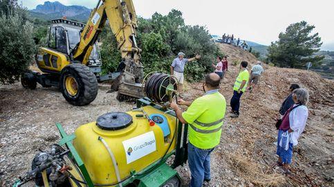 El 'ébola del olivo' avanza: frenarlo exige arrasar Mallorca y quizás Alicante