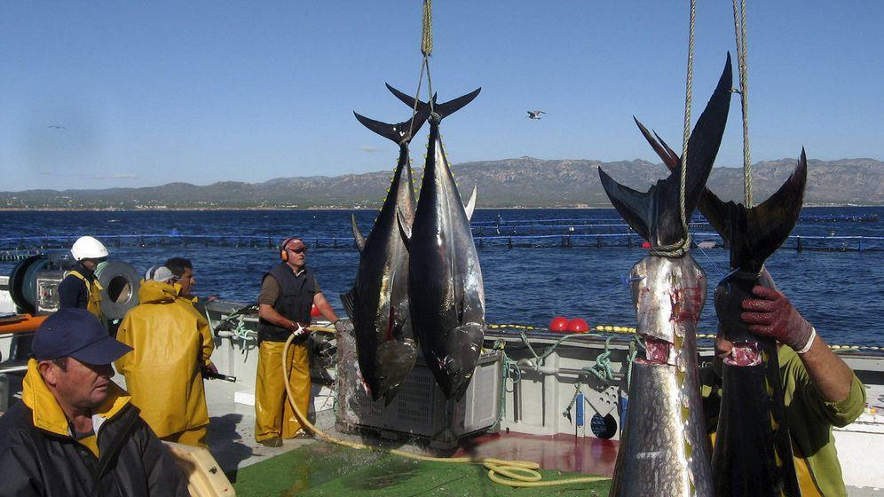 Foto: Sacrificio y saca de atún rojo de una granja de engorde en el Mediterráneo español. (EFE)