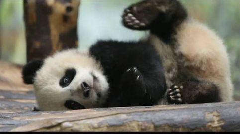 El ataque de hipo de un oso panda bebé en el zoo de Berlín
