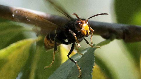 Muere un hombre de 73 años tras picarle una avispa velutina en Poio (Pontevedra)