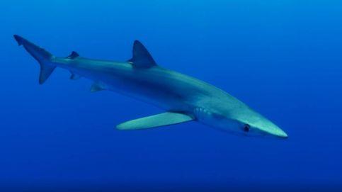 El azul hipnótico del escualo más elegante del océano