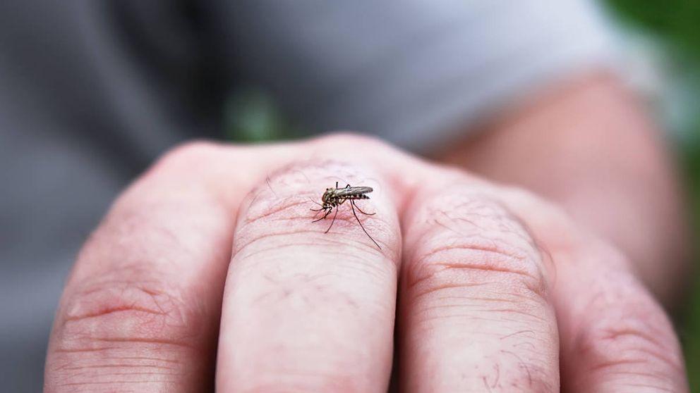 Por qué los mosquitos prefierenpicar a unas personas y no a otras