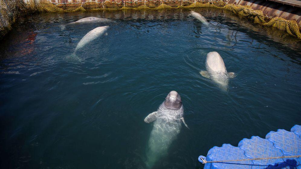 Foto: Ballenas en cautividad: muy pronto esta imagen dejará de verse en Canadá