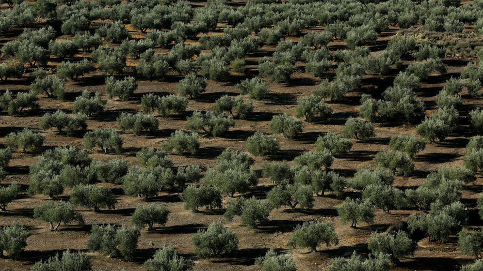 Foto: Olivar tradicional en Jaén. (Reuters)