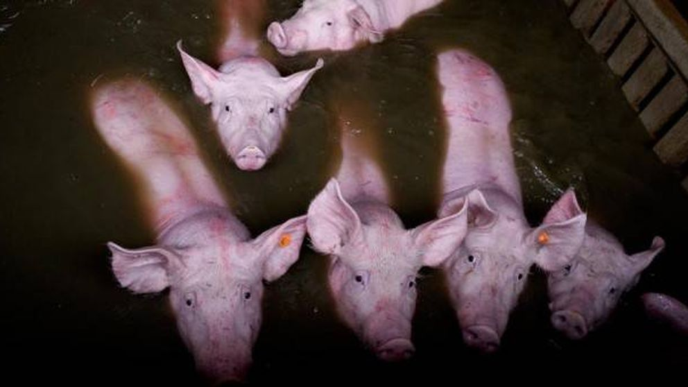 Cientos de animales corren el riesgo de ahogarse en las granjas cercanas al Ebro