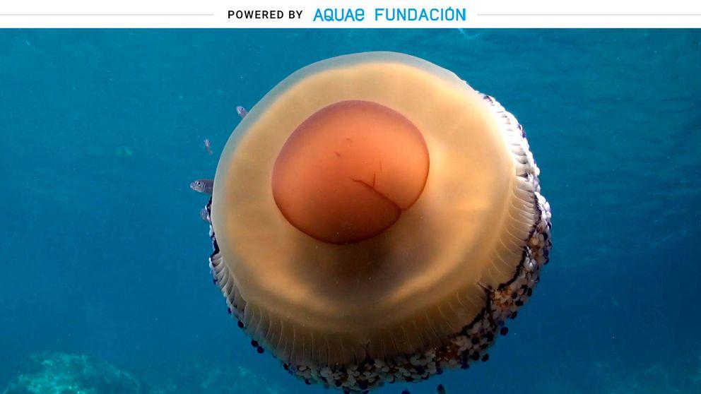 ¿Un huevo frito? No, es una medusa del Mediterráneo