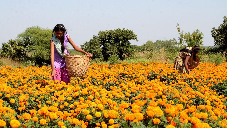 Recolección de flores de caléndula en un campo con motivo del Diwali, la Navidad hindú, a las afueras de Bhopal, India.  (EFE)