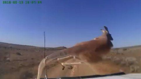 El canguro y su ángel de la guarda: ileso al pasar delante de un coche