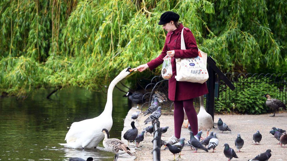 Foto: Una mujer alimenta a un cisne en St James's Park en Londres este domingo. (EFE)