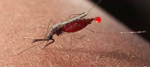 Foto: Desarrollan una vacuna que podría terminar con los casos de malaria