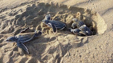 Nacimiento de tortugas tinglar y fabricación de material sanitario en Haití: el día en fotos