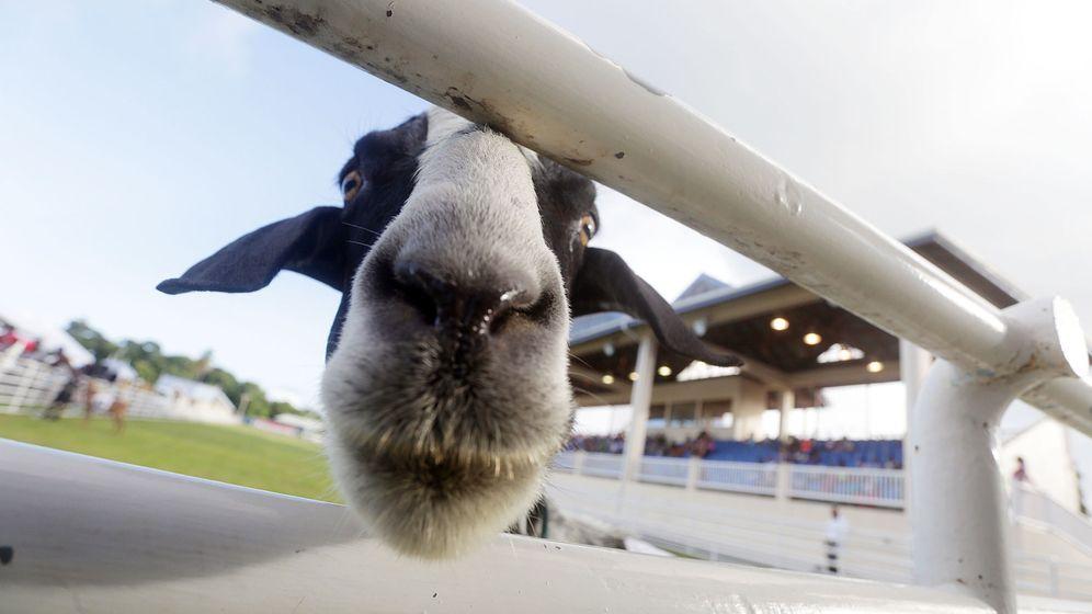 Foto: Las cabras prefieren a las personas felices (EFE/Andrea De Silva)