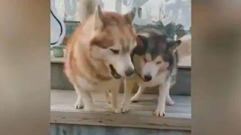 Amor infinito: así enseña un perro a su hermano ciego a bajar un escalón