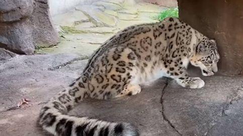 Un leopardo de las nieves da positivo por covid-19: sexta especie animal contagiada