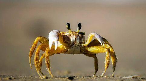 Un cangrejo en un ámbar de 100 millones de años ayuda a tejer su evolución