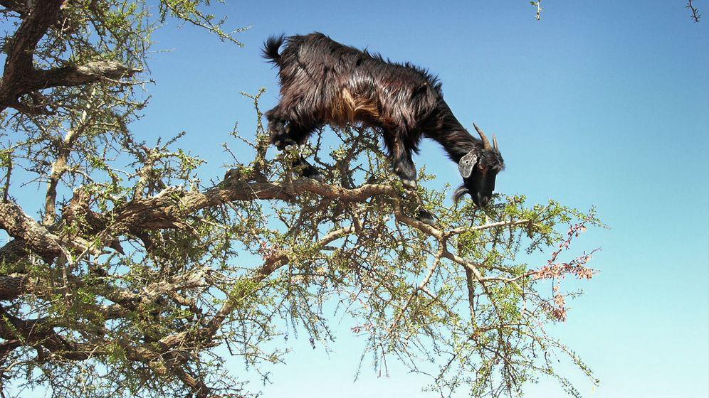 Foto: Estos animales están causando graves daños a la flora endémica del peñón. (EFE)