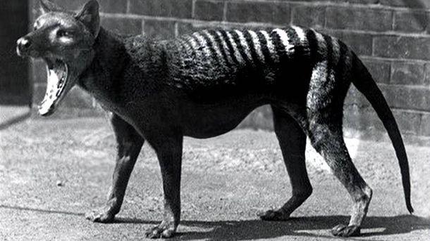 Foto: Un tigre de Tasmania en un zoológico antes de 1936
