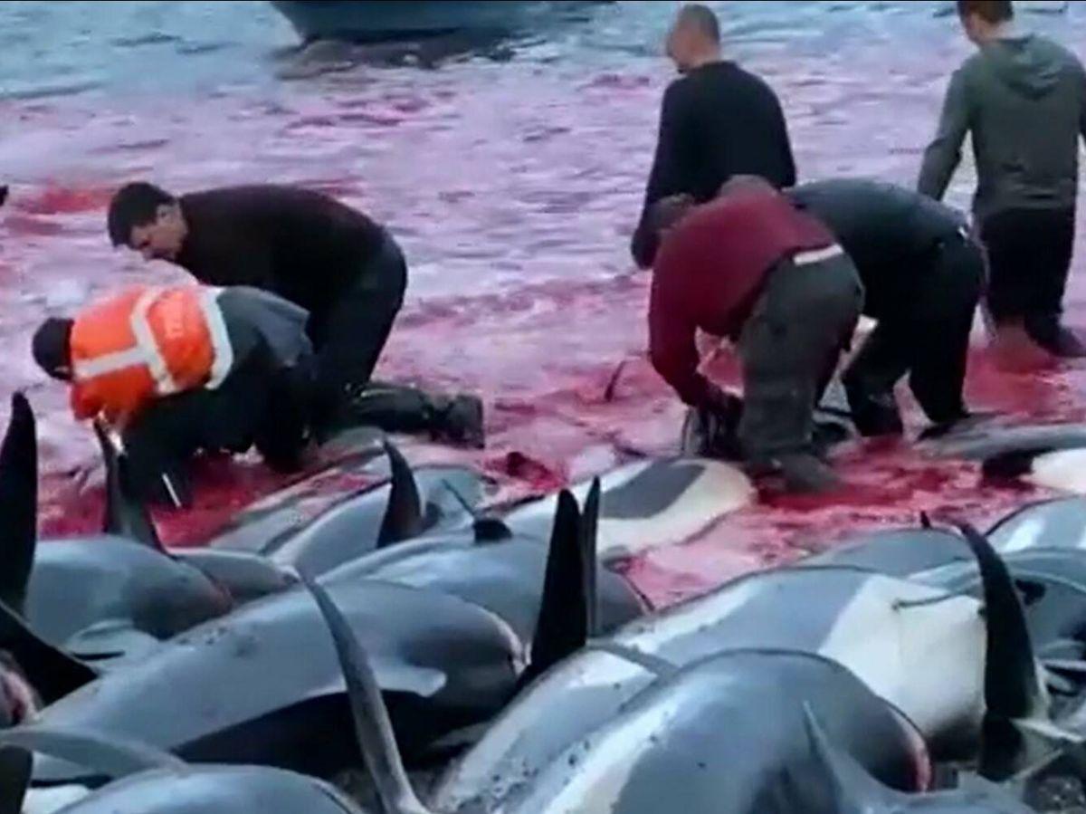 Foto: Habitantes de las islas Feroe dan caza a cientos de delfines. (Atlas)