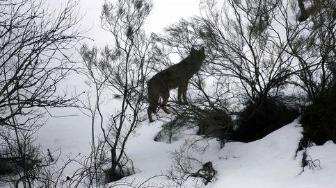 Tras el rastro del lobo en la nieve