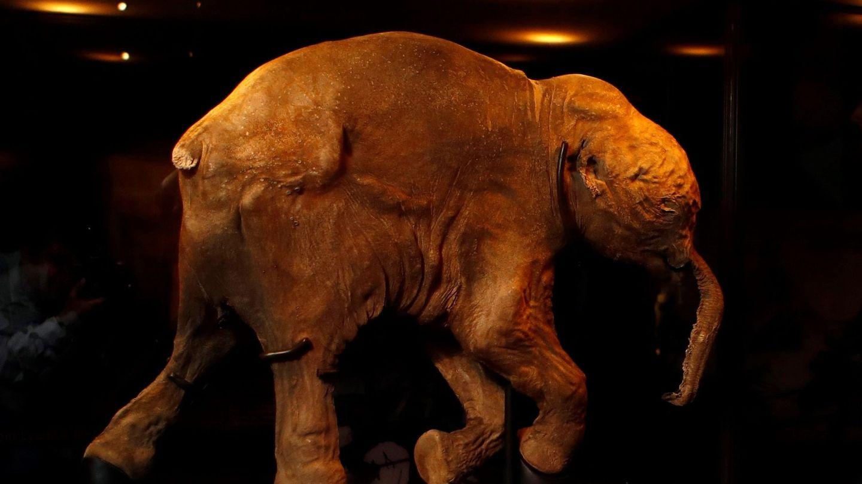 Fósil de una cría de mamut de 42.000 años, bautizada como 'Lyuba'. (EFE)