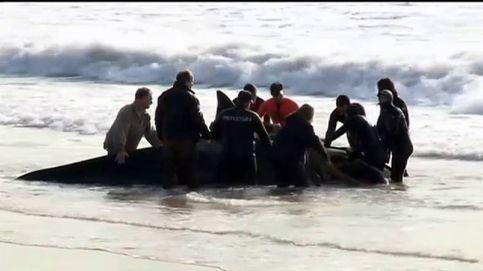 Emocionante rescate a un grupo de orcas en una playa de Argentina