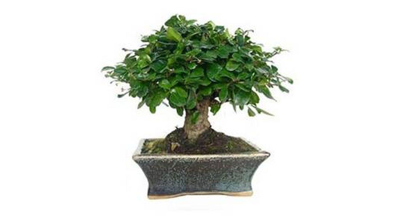 Plantas de interior tipo Bonsái