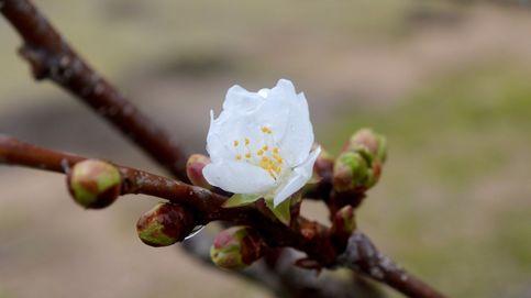 El espectáculo de la primavera llega, un mes tarde, al Valle del Jerte