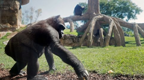 Gabón quiere proteger a toda costa a sus gorilas del coronavirus