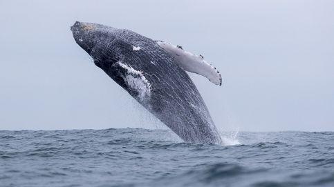 Las ballenas alertan a sus crías del peligro mediante 'susurros'