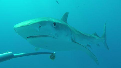 Descubren en Australia cuatro nuevas especies de tiburón