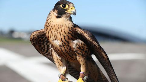Investigados por envenenar aves rapaces protegidas y en peligro de extinción