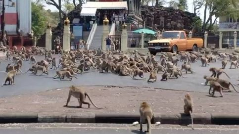Estalla una batalla de monos en Tailandia por comida ante la falta de turistas