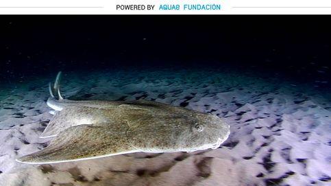 Mitad tiburón, mitad raya: el angelote puede ejecutar su ataque en décimas de segundos
