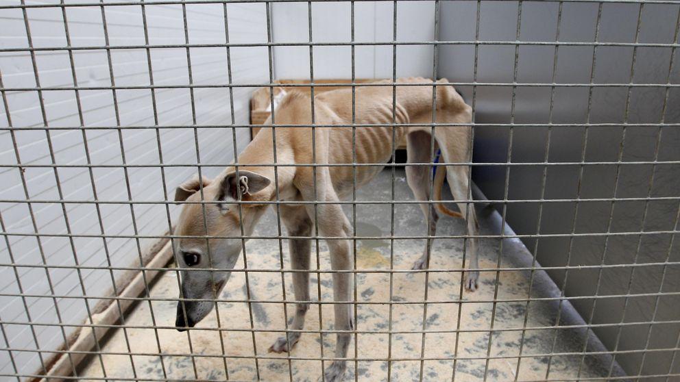 La perra vida de un galgo en España