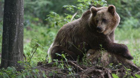 Amplían las protecciones a osos pardos y anulan las cacerías en Estados Unidos