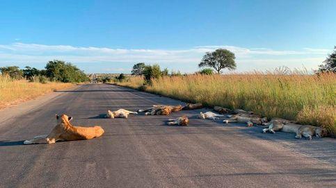 Los leones se adueñan de las carreteras sudafricanas por falta de turistas