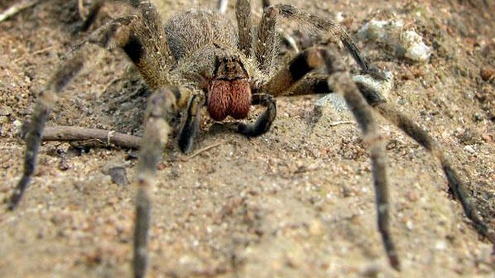 La araña de la  'Viagra mortal' que habita en los plátanos