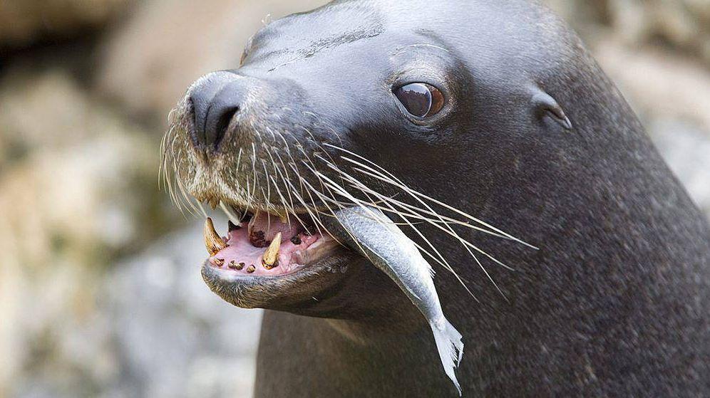 EEUU aplica la inyección letal a decenas de leones marinos para proteger a los salmones
