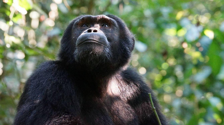 Muere a los 63 años Cobby, el chimpancé cautivo más longevo de Estados Unidos