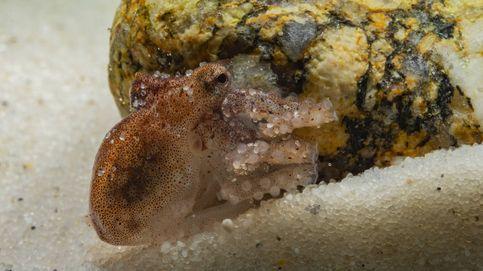 La segunda generación del pulpo de acuicultura ya crece en el laboratorio