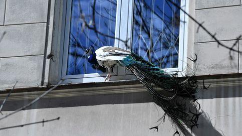 ¿Qué hace ahí ese pavo real?