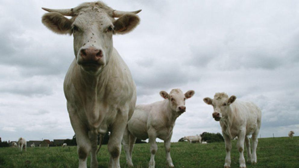 La mejor carne, la de las vacas que se alimentaron con un litro de vino diario