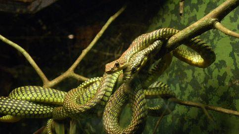 Algunas serpientes 'vuelan' y la ciencia ya sabe cómo lo hacen